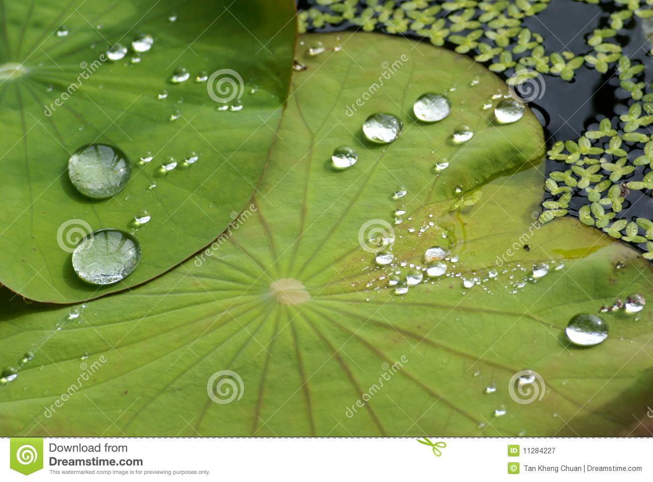 Fallen water laying on lotus leaf in a water pot Water Drop Photography On Leaf