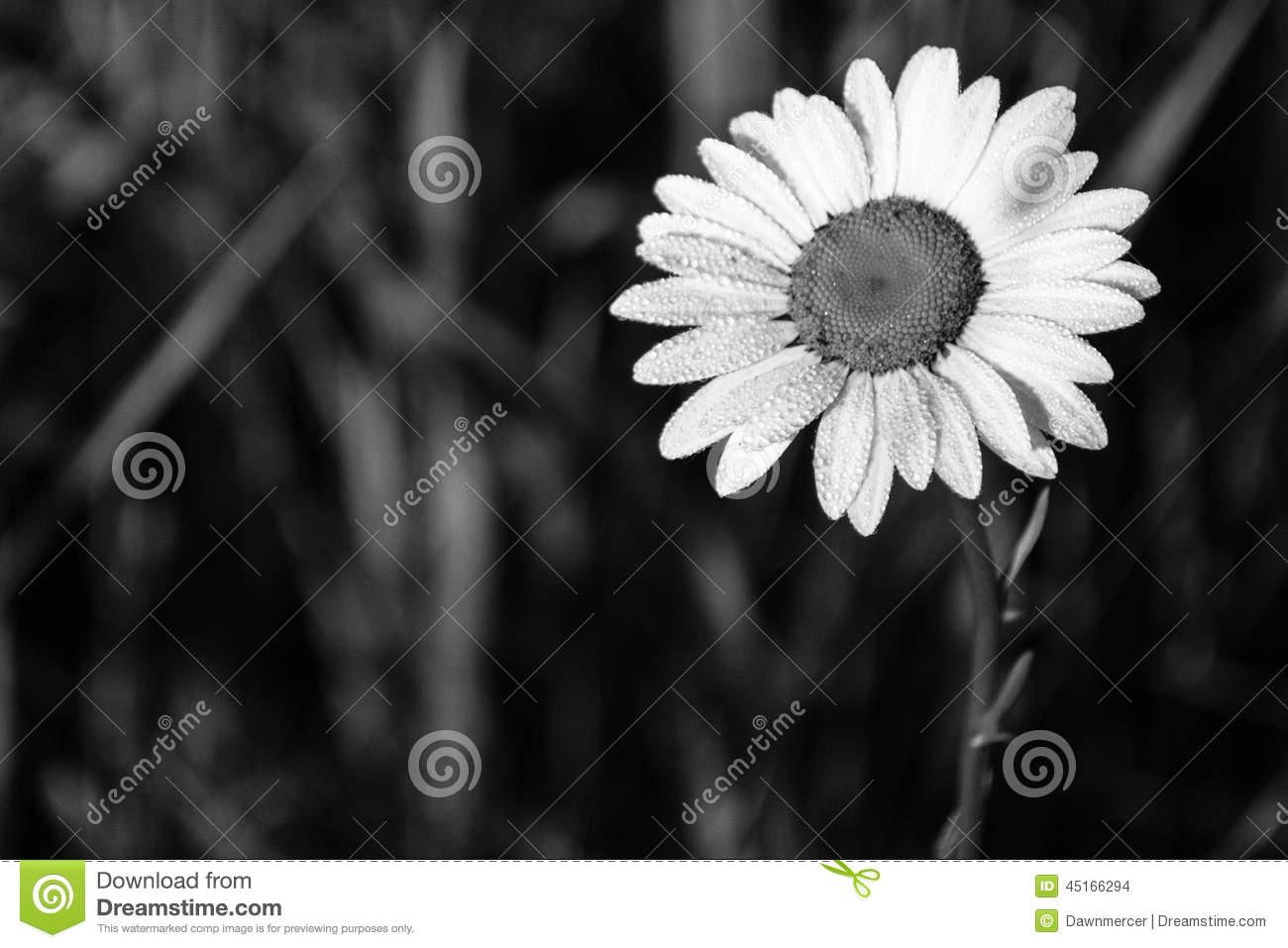 Water Droplets On Daisy Flower Black And White Stock Photo Image