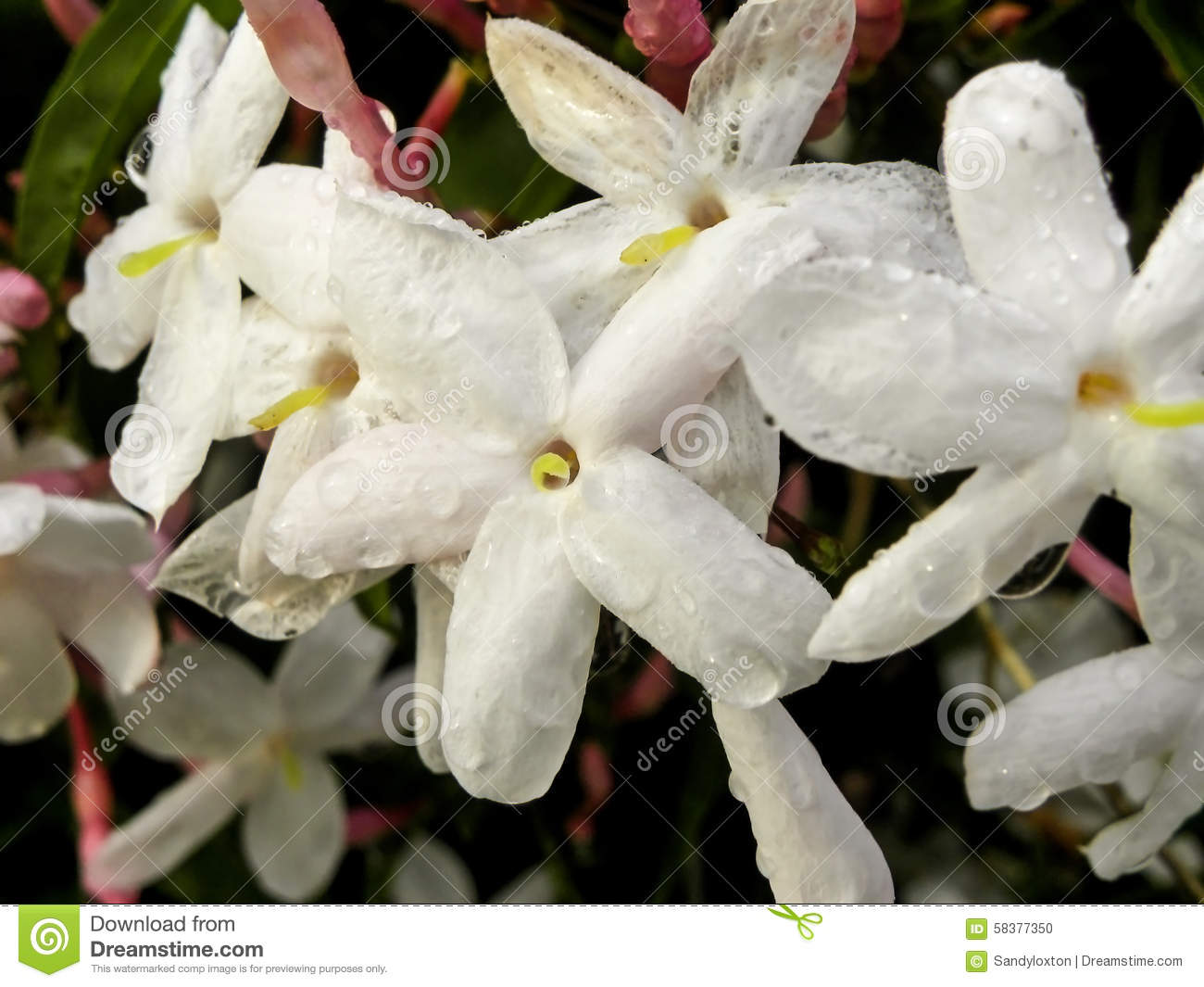 Water Droplets On Jasmine Flowers Stock Photo Image Of Plants