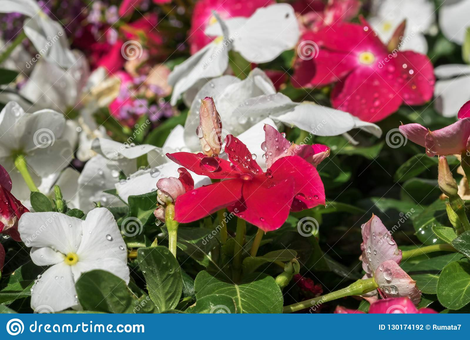 water drops on vinca flowers at greenhouse stock photo image of