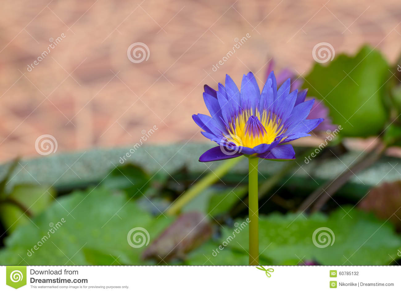 A Water Flower Also Called A Lotus In A Pond Surrounded By Flo