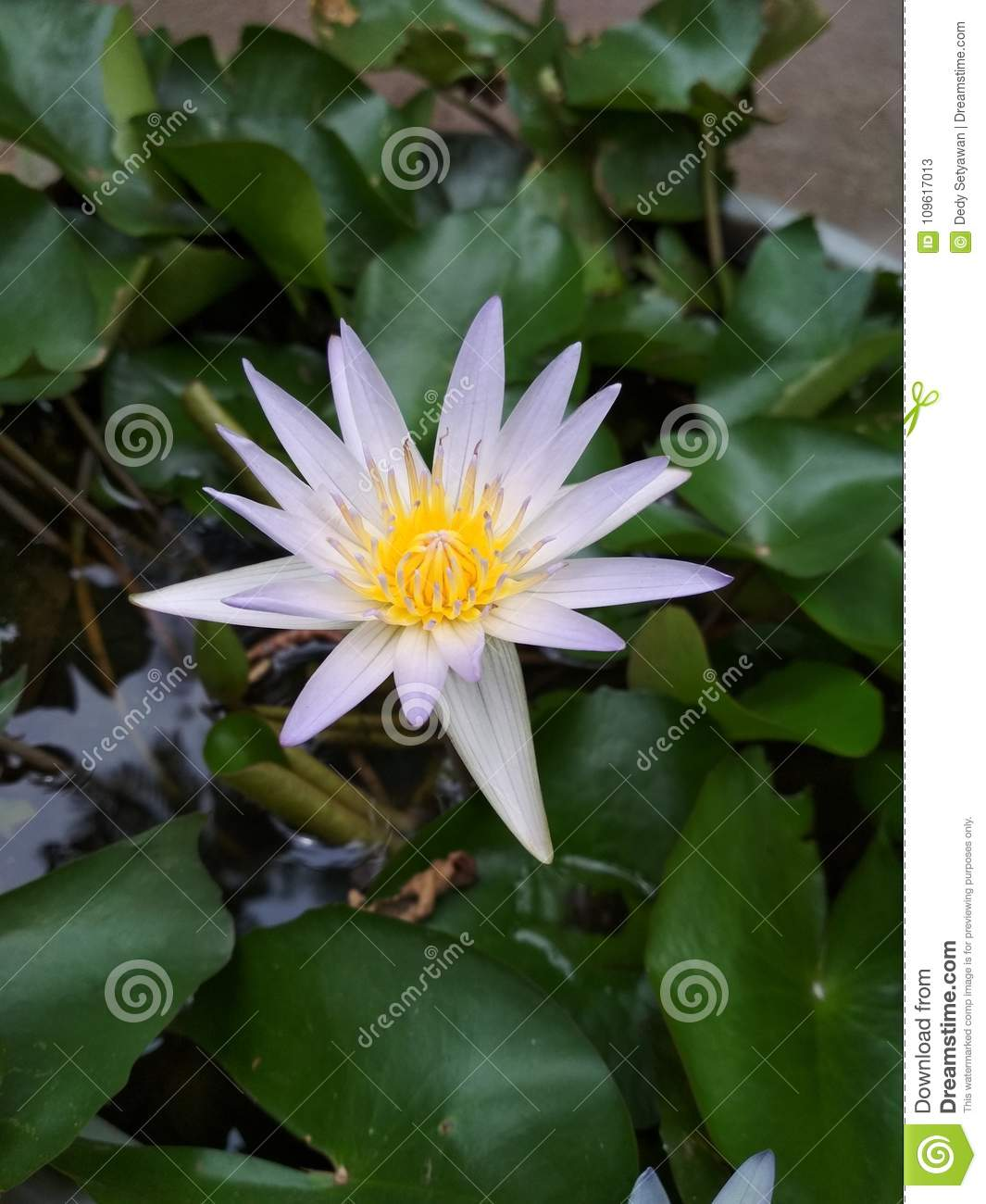 Lotus Flower Southeast Asia Stock Image Image Of Outdoors Beauty