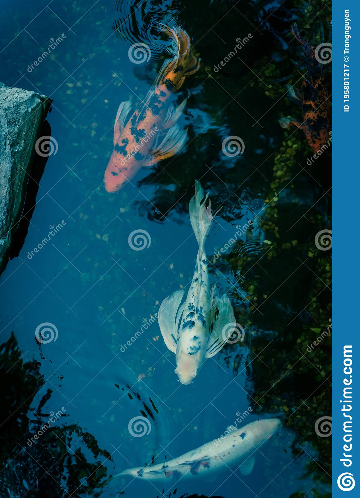 Water Garden With Landscaping Rocks And Colorful Koi Fishes Swimming Near Dallas Texas Usa Stock Image Image Of Fish Aquarium 195801217