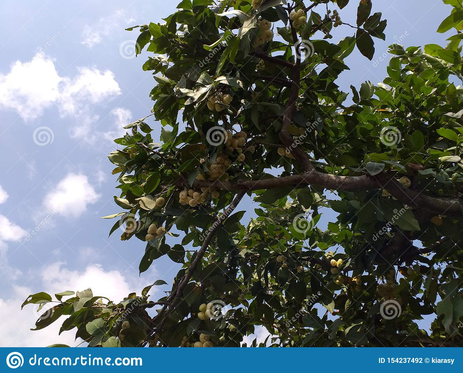 Water Guava Trees With Several Kinds Stock Photo - Image of