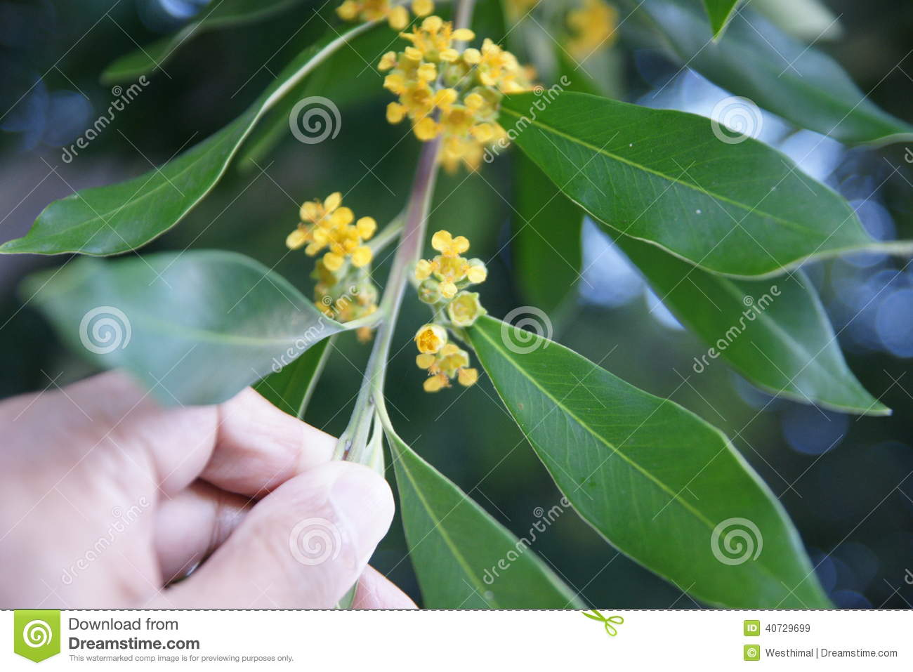 Water Gum Tree Kanooka Tristanopsis Laurina Stock Image Image Of