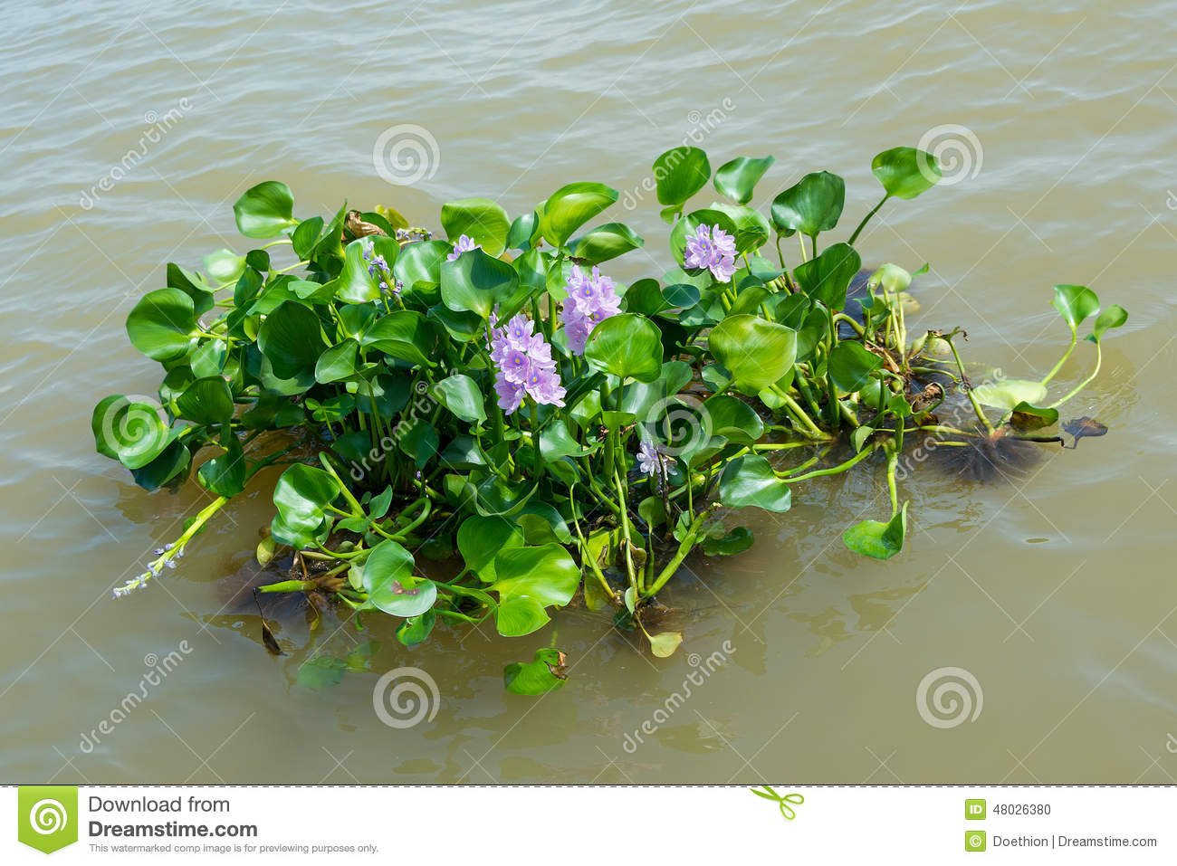 how to draw a water hyacinth