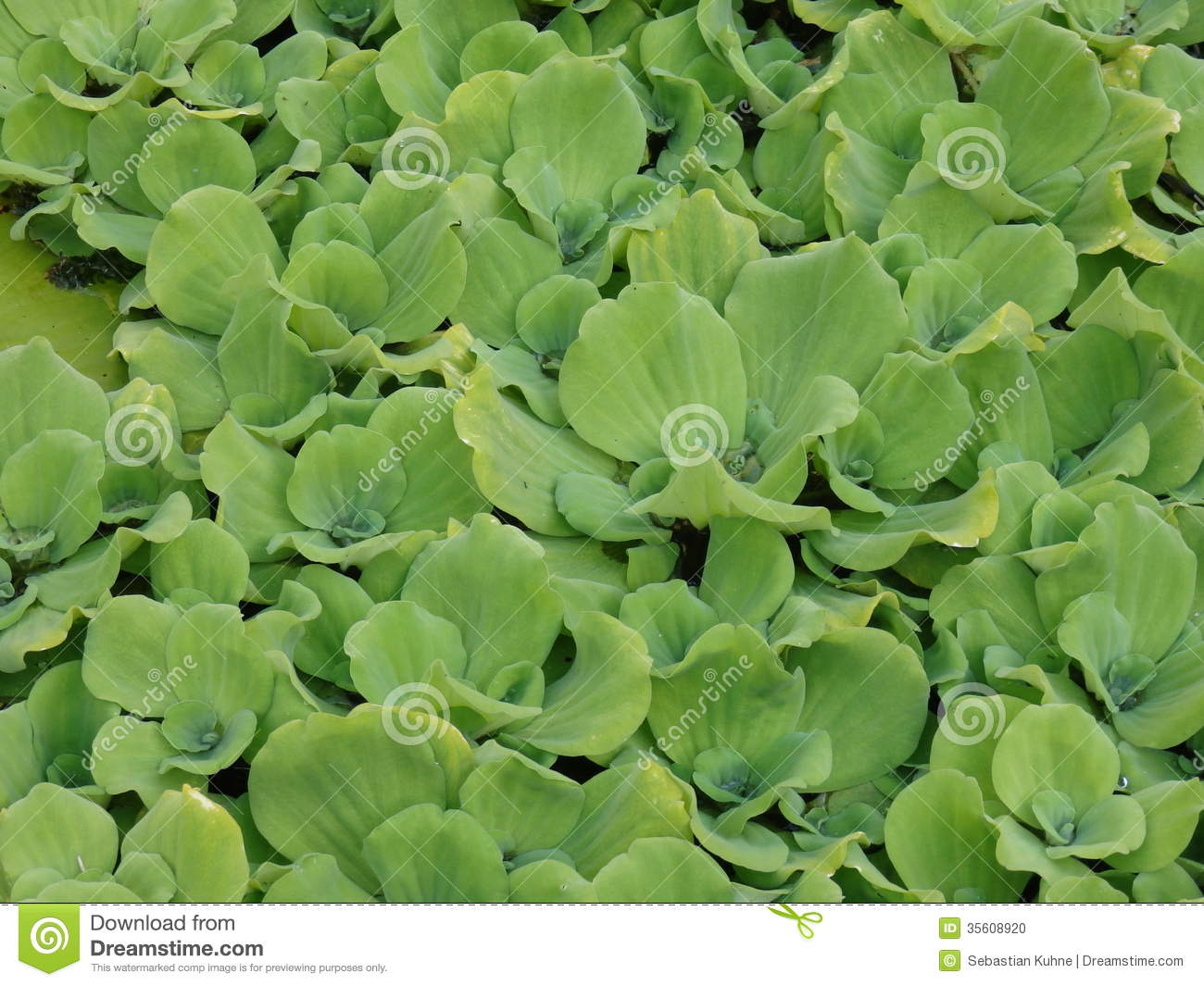 Water Lettuce Facts, Care & Planting Guide (Pistia ...