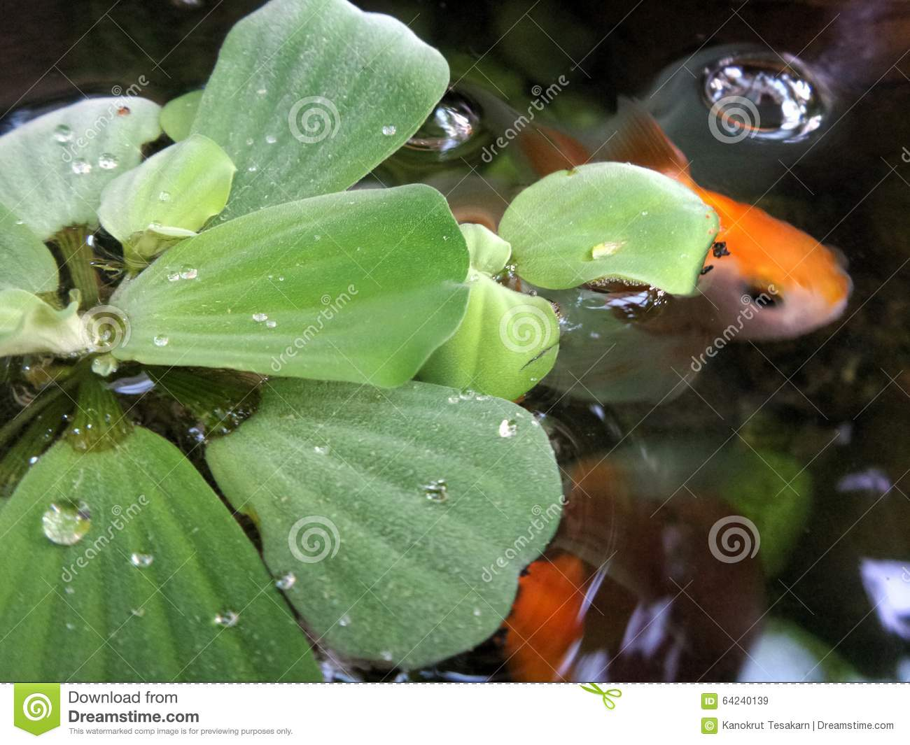 Water lettuec stock photo image 64240139 for Best pond plants for goldfish
