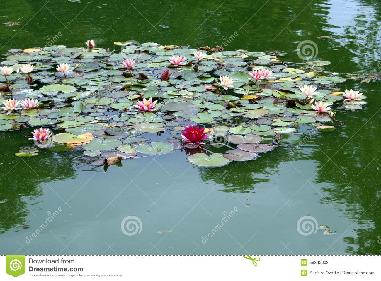 how to grow water lillies