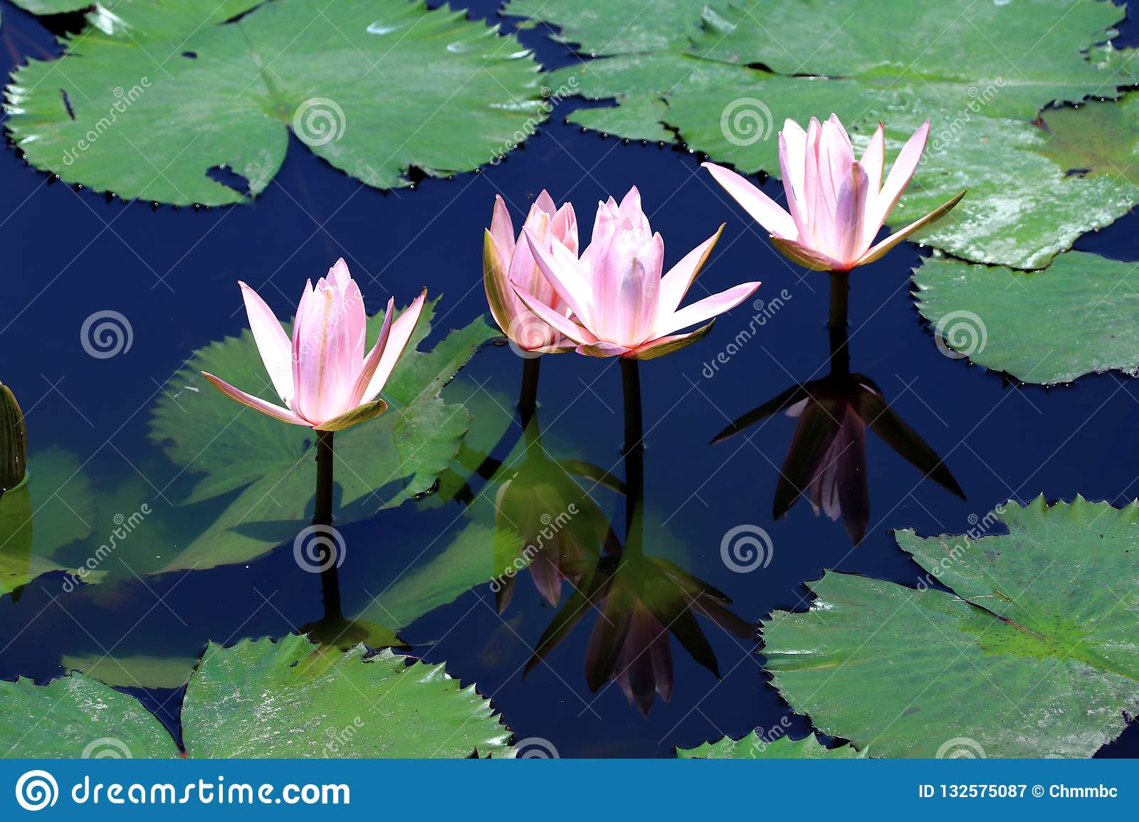 Water lilies in the pond - Bali Asia