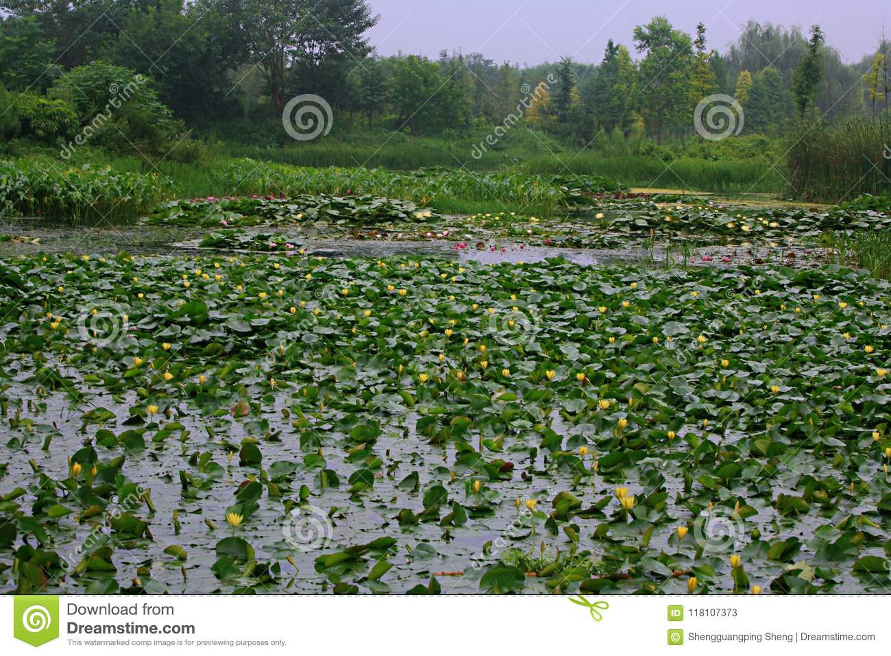Water Lilies Stock Image Image Of Also Plant Characteristics