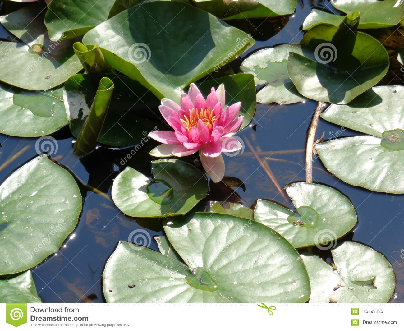Water lilly the most beautiful aquatic plants stock image image water lilies are a well studied clade of plants because their large flowers with multiple unspecialized parts were initially considered to represent the izmirmasajfo