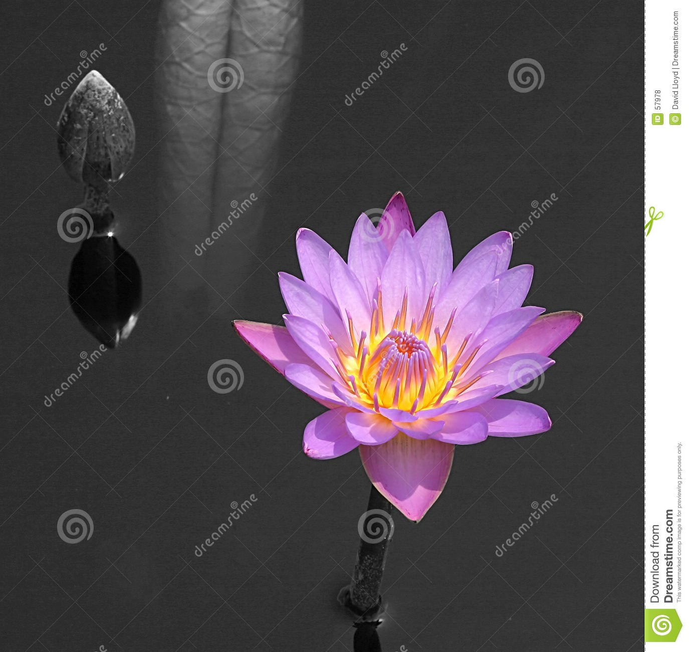 Water lilly, achtergrond B&W