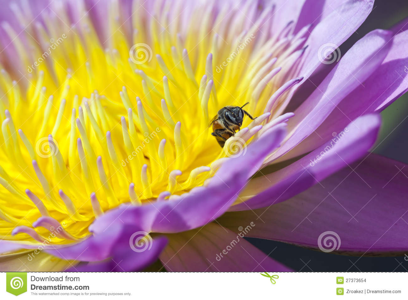 Water lilly and Bee