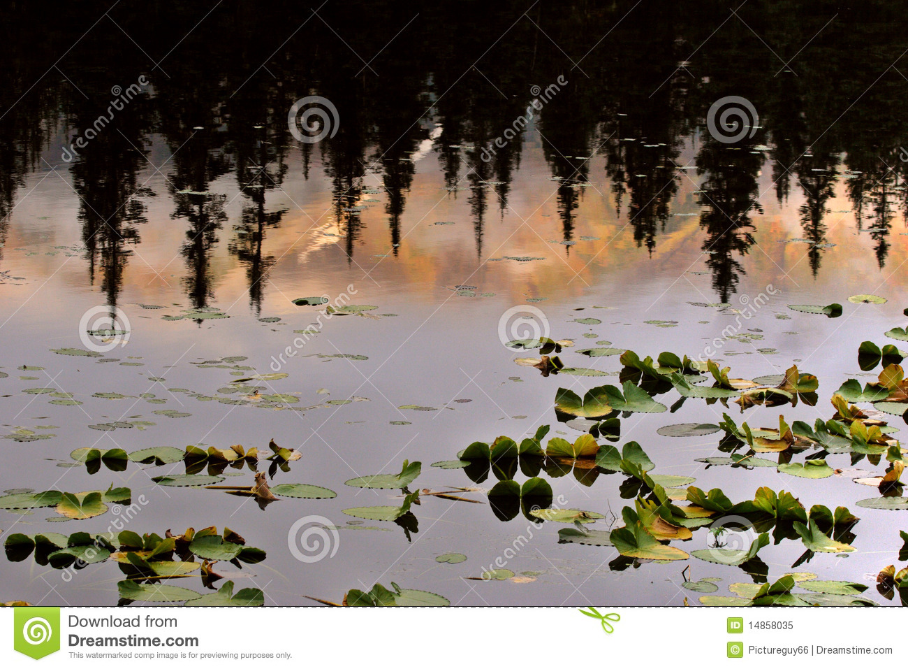 Water Lilly leaves and reflection