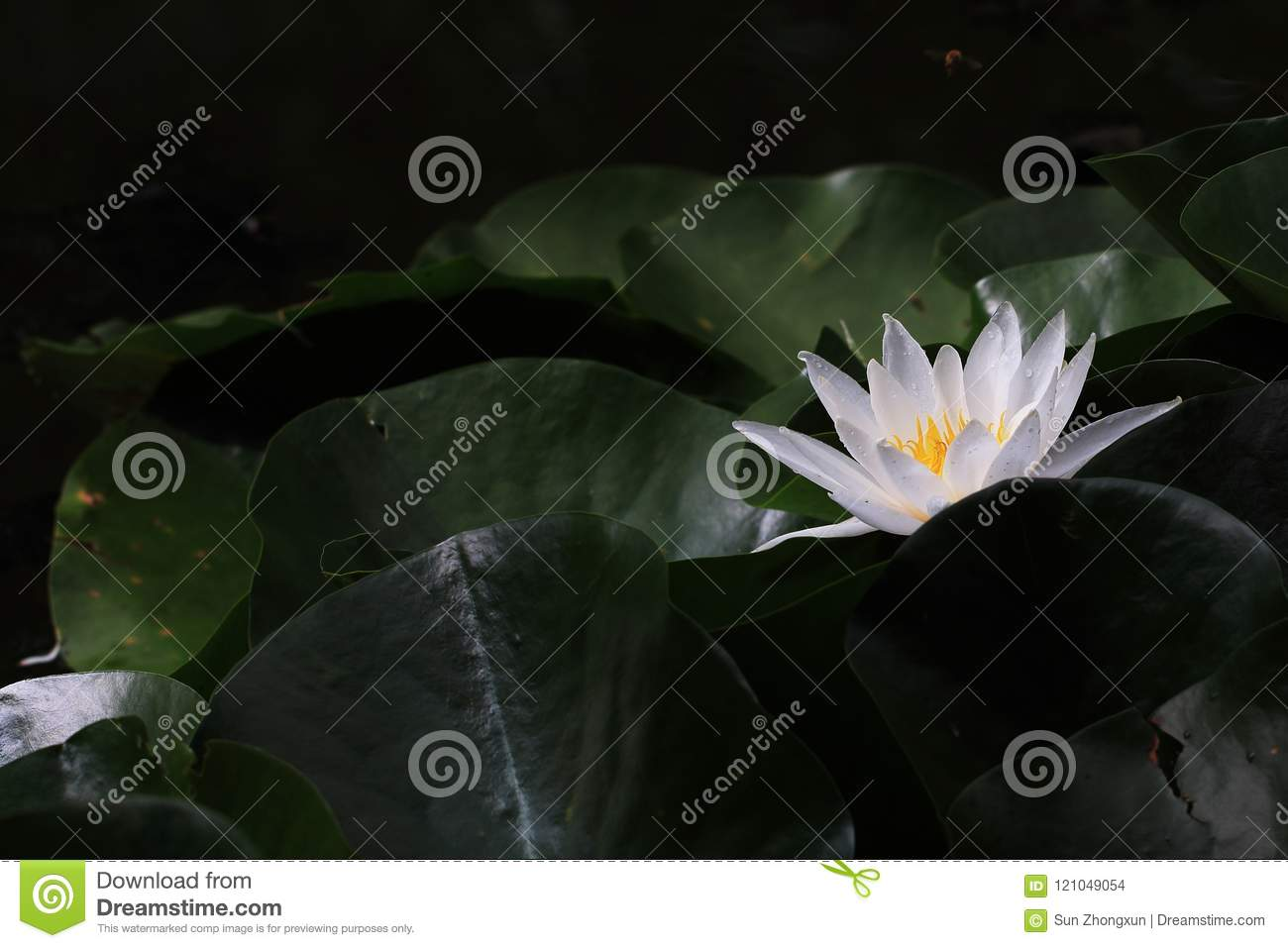 Water Lilynymphaea L Stock Photo Image Of Thus Blessing