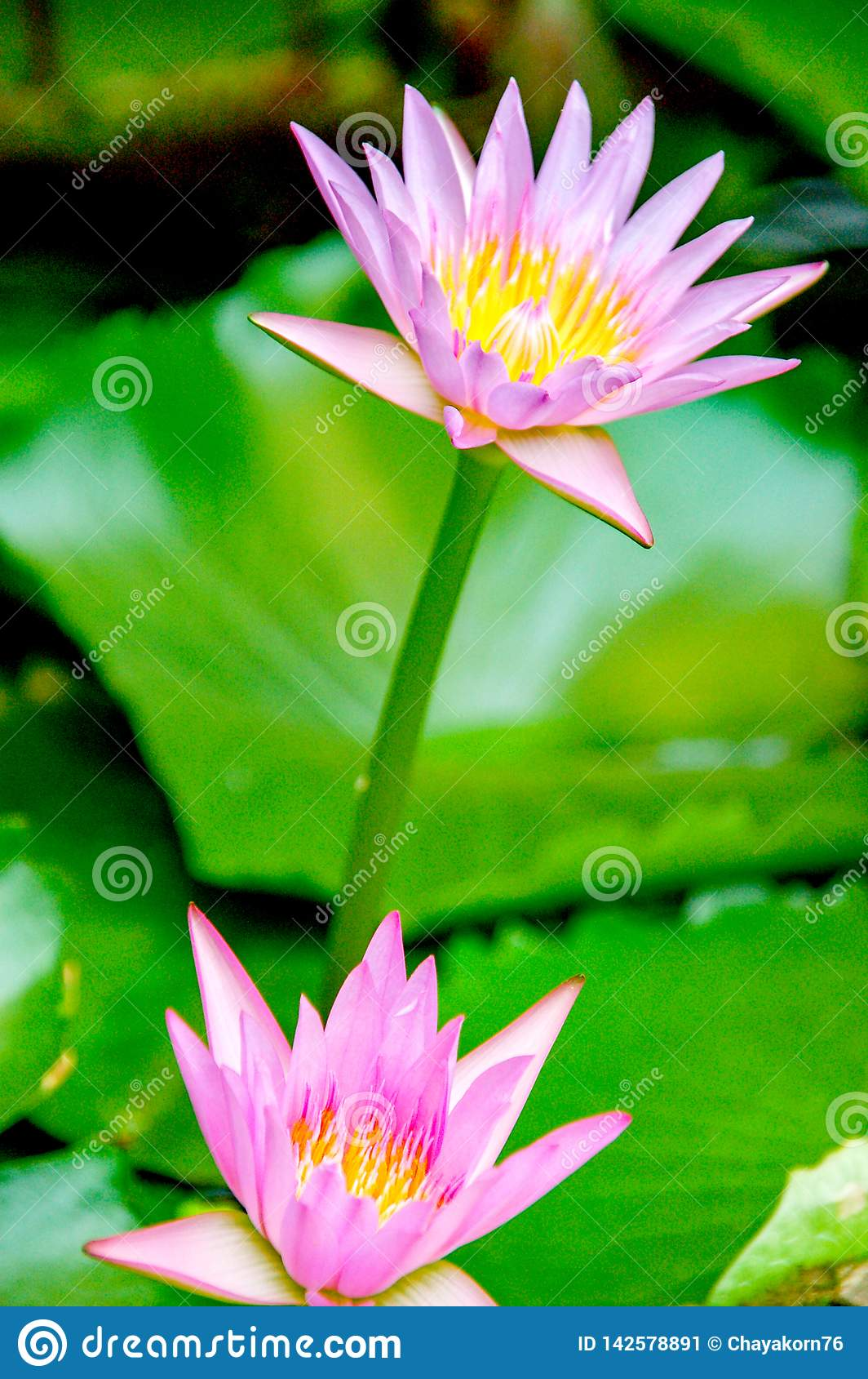 Water Lily Or Asia Lotus Flower With Pink And White Yellow Colour