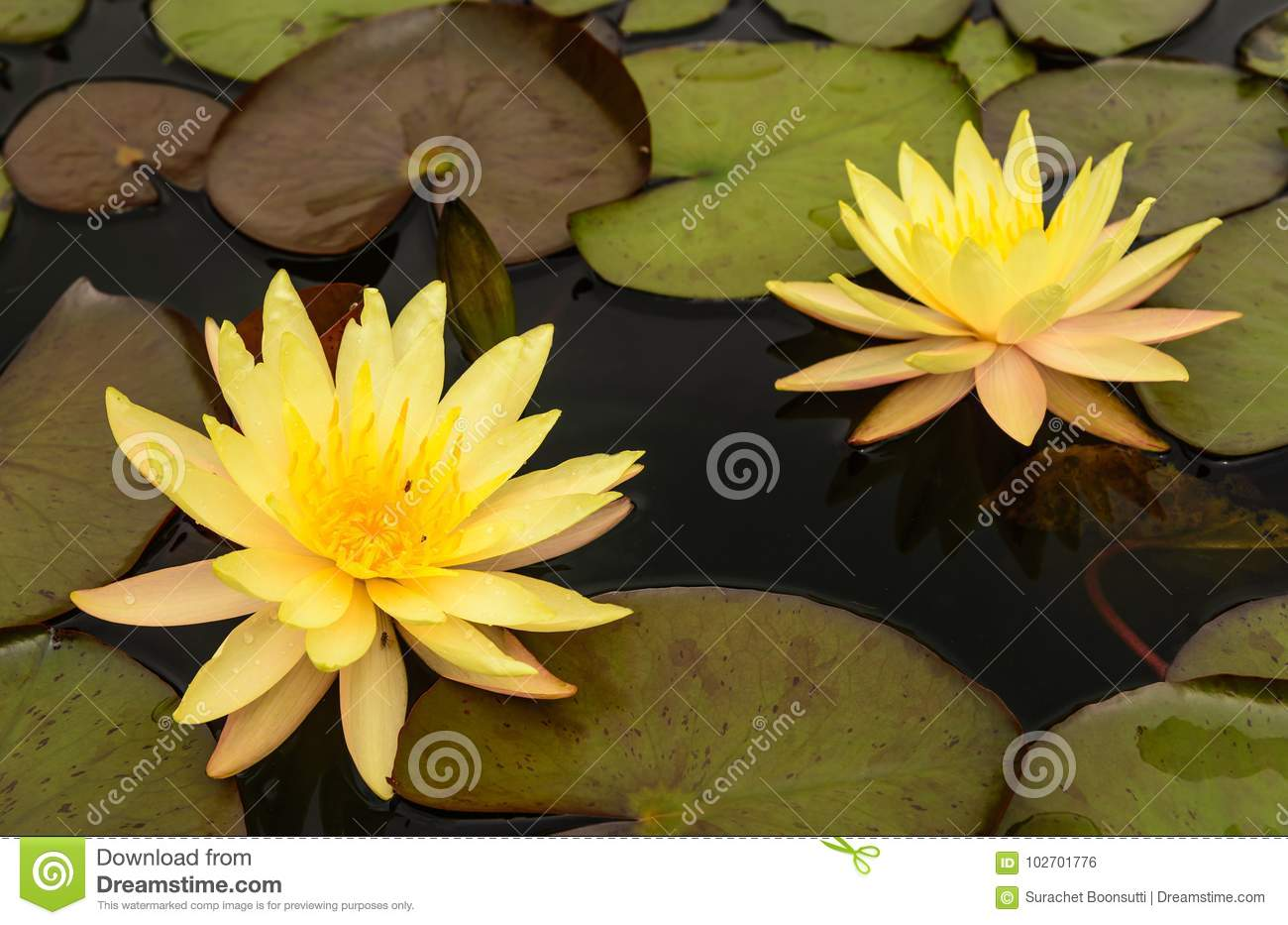 Water lily beautiful lotus flower stock photo image of flowers water lily beautiful lotus flower is the symbol of the buddha izmirmasajfo