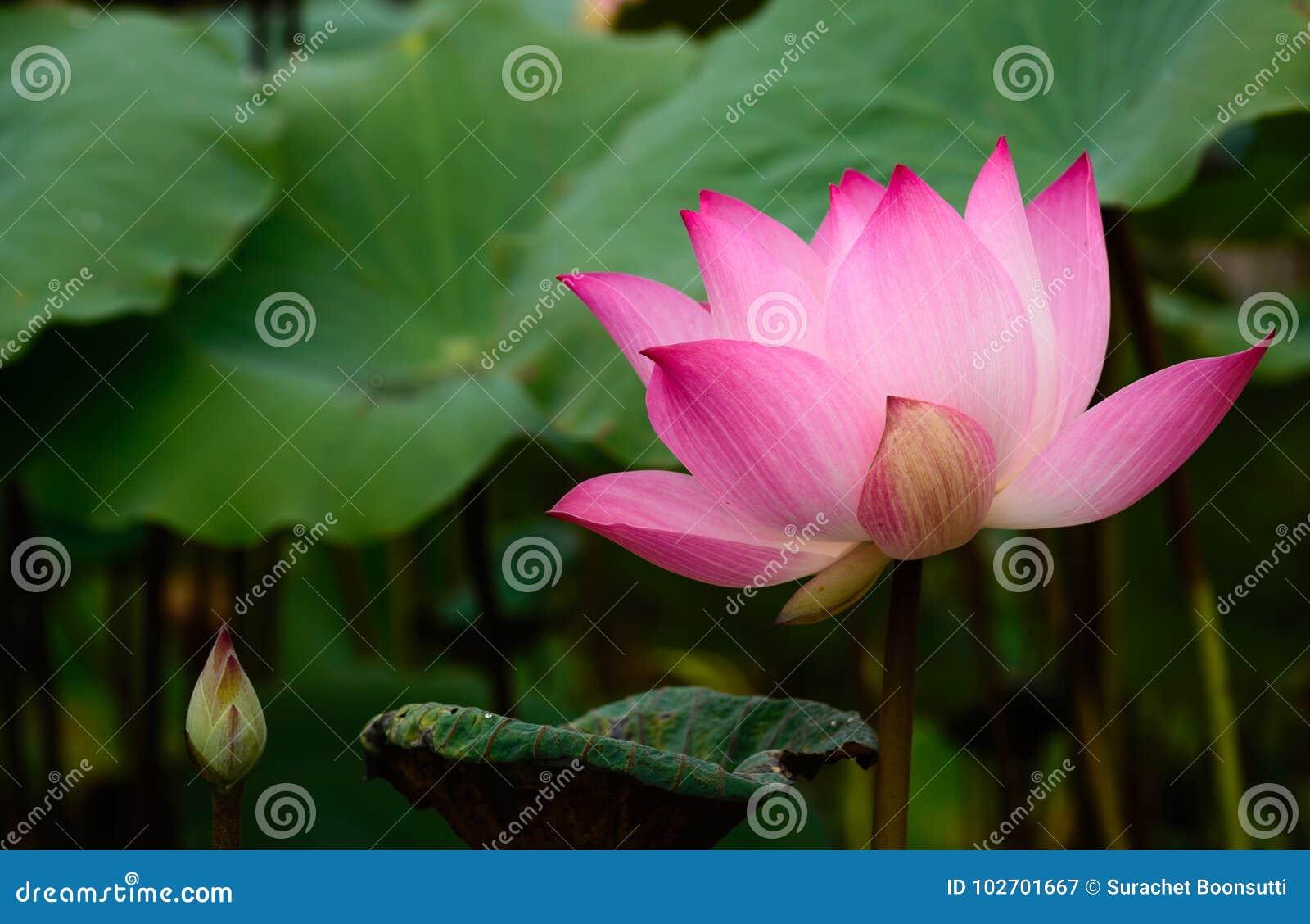 Water Lily Beautiful Lotus Flower Stock Image Image Of Fern Petal