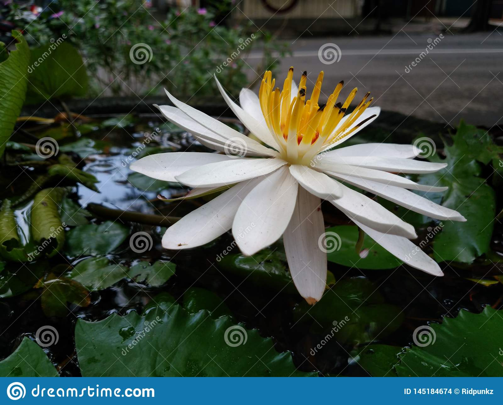 water lily blooming. white and yellow