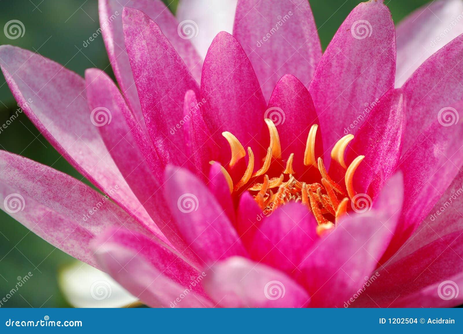 Water lily closeup