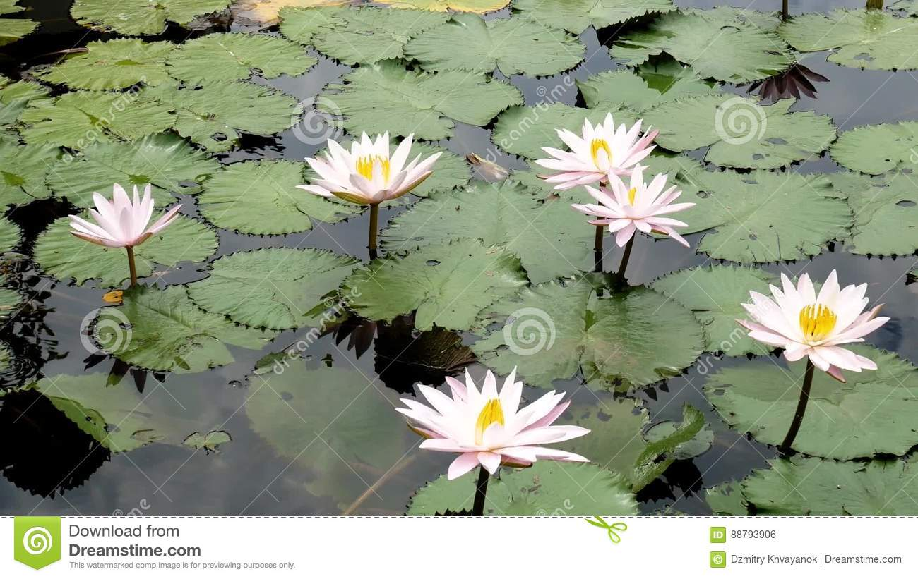 Water Lily Closeup In A Pond Lotus Flower Waterlilly Waterlillies