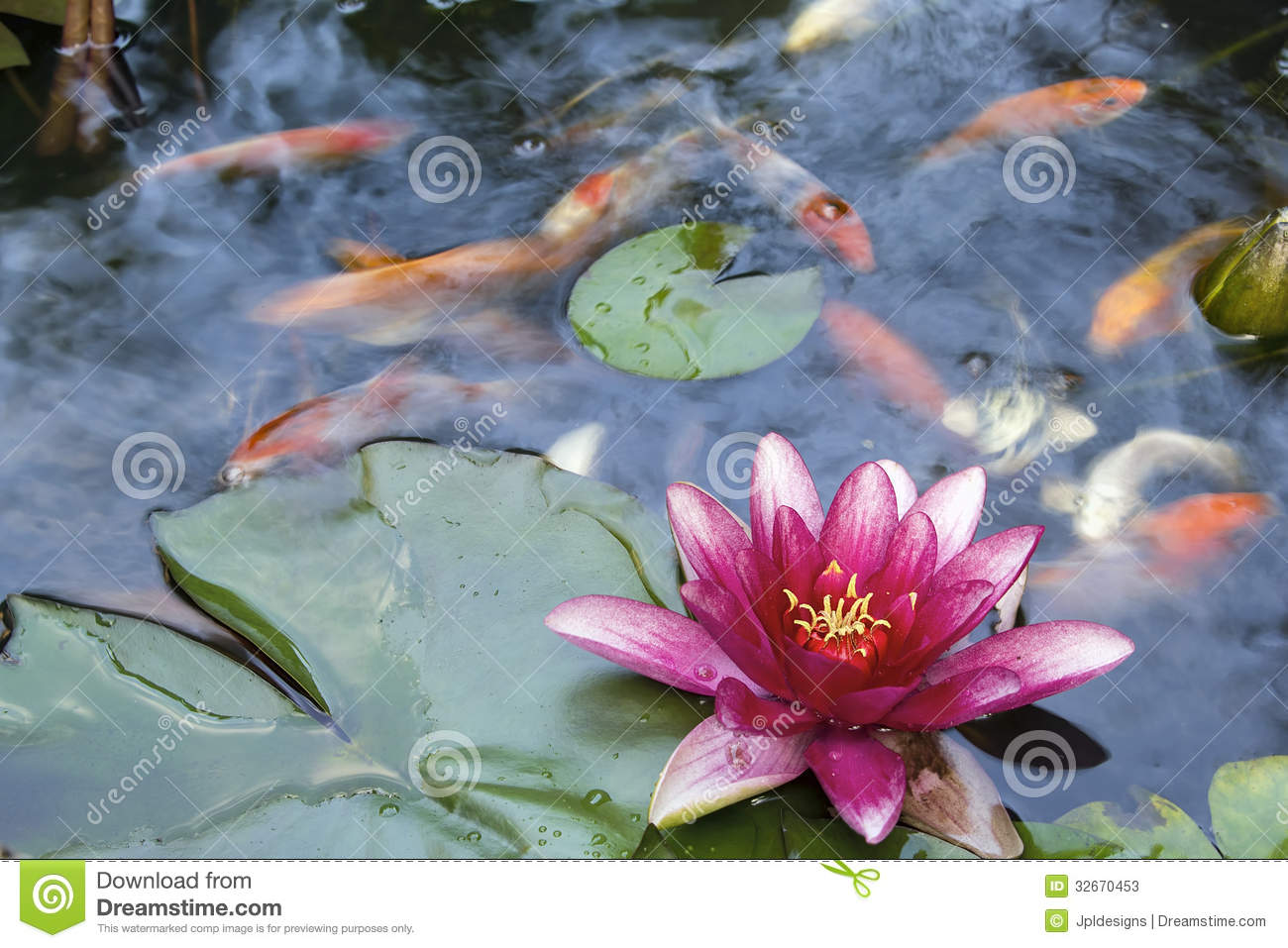 Water lily flower blooming in koi pond stock image image for Koi pond water