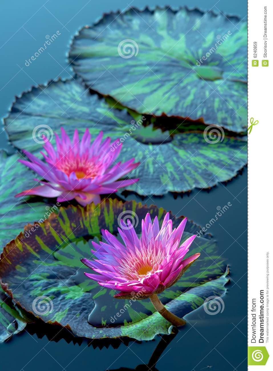 Water Lily Flowers Stock Image Image Of Flower Outdoor 6240859