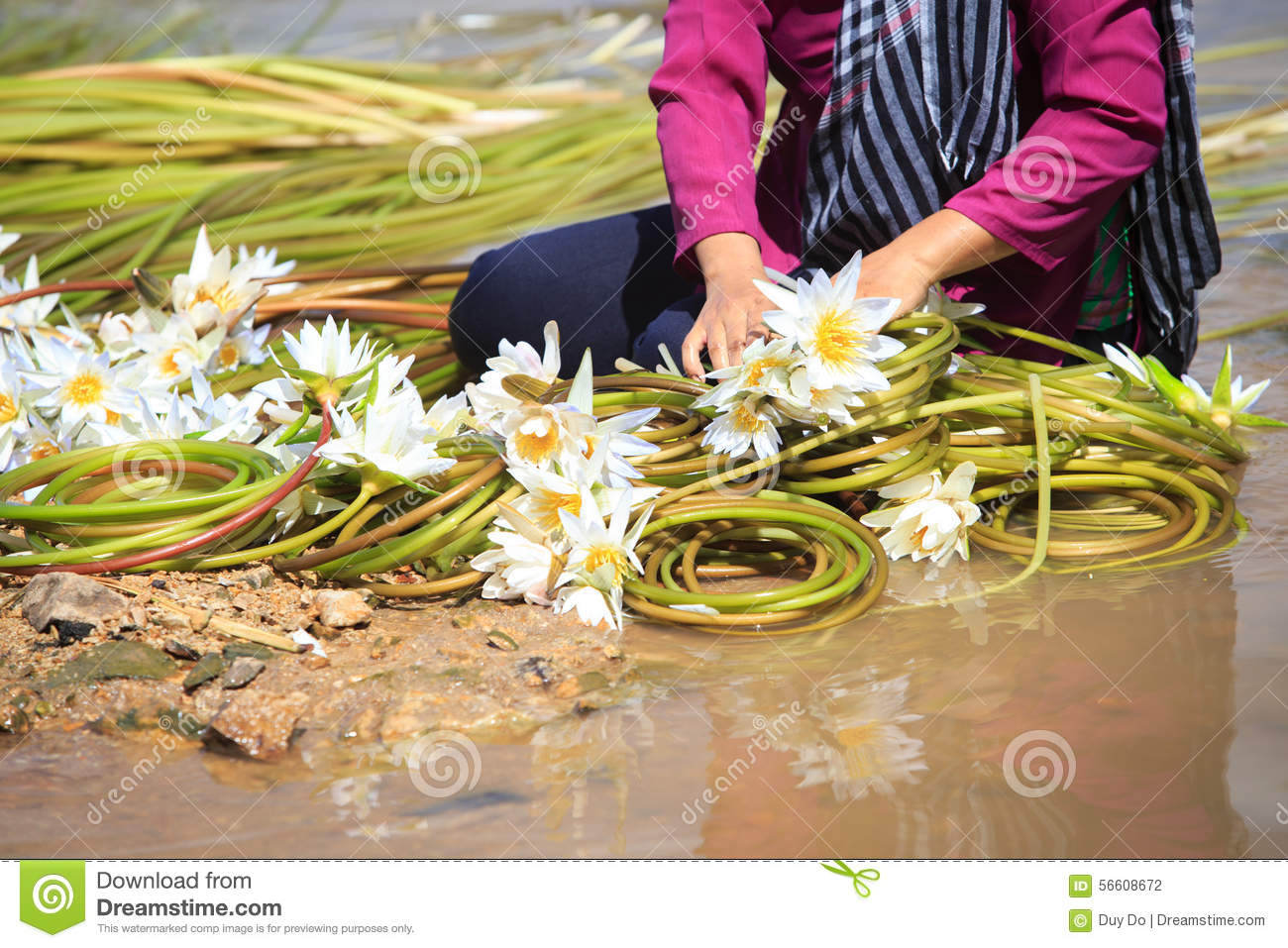 Water lily flowers nymphaea prepared in roll for sale stock photo water lily flowers nymphaea prepared in roll for sale stock photo image of natural nymphaea 56608672 izmirmasajfo