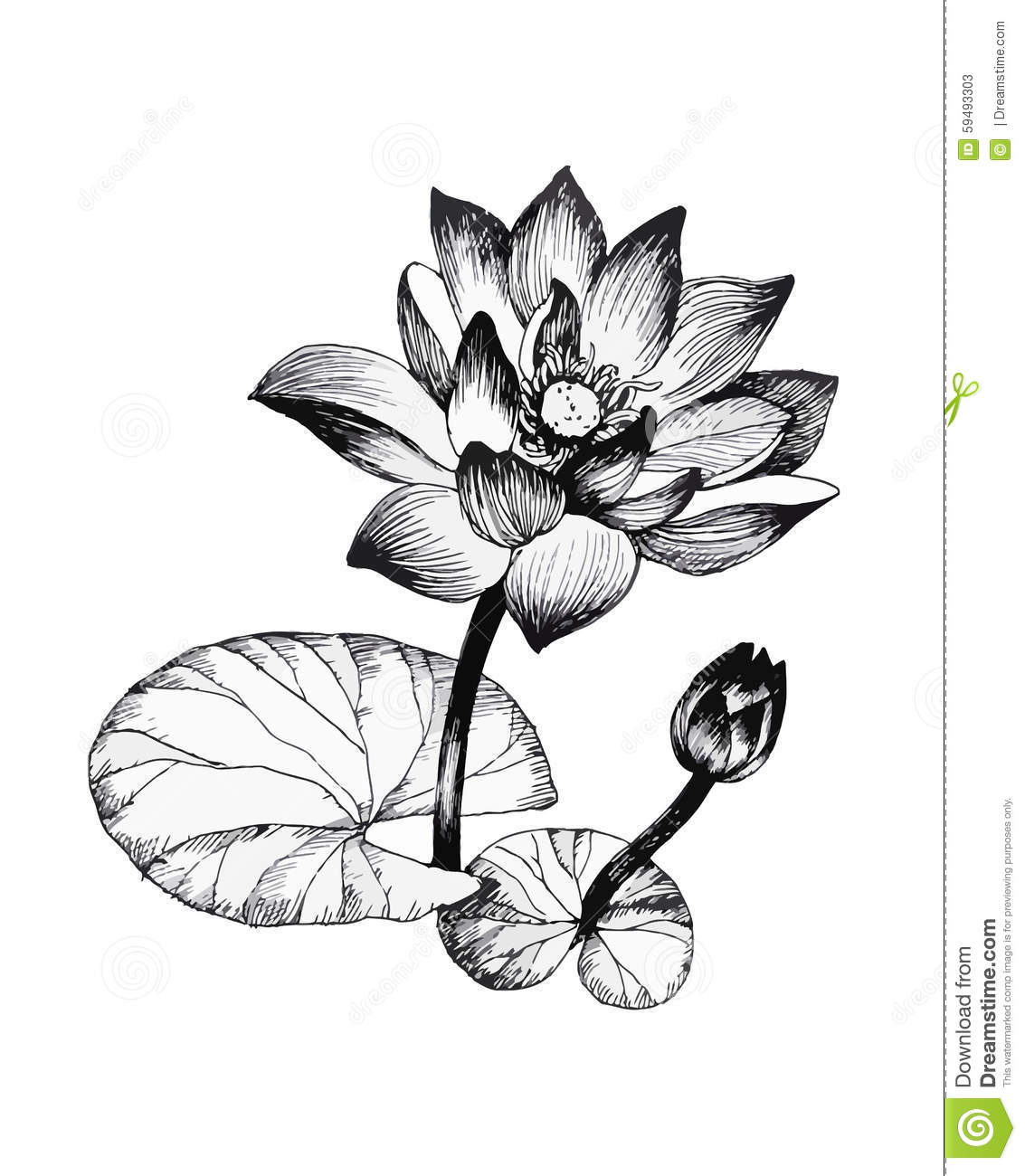 Water Lily Flowers On Pond Black And White Illustration ...