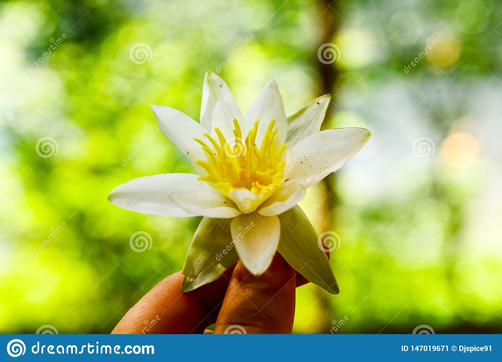 Water Lily in the girl`s hand