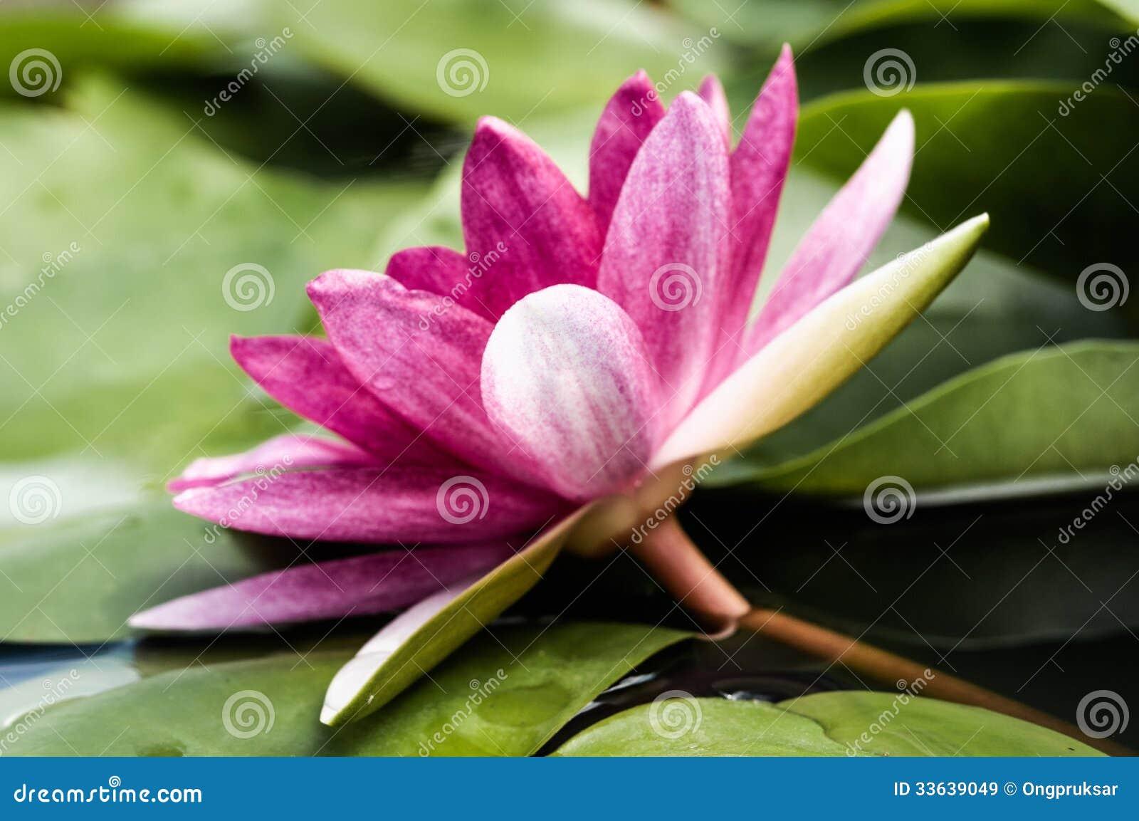 Lotus Flower Buddhist Symbol Comousar
