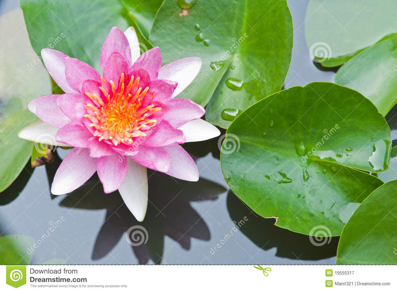 Water Lily Or Lotus Flower Floating On Pond Stock Image Image Of
