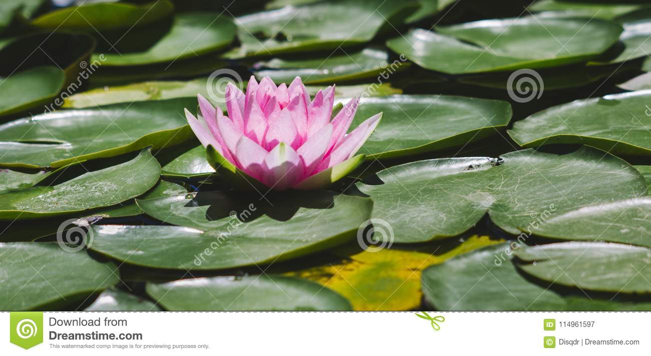 Water lily flower blossom in pond stock image image of fragility download comp izmirmasajfo