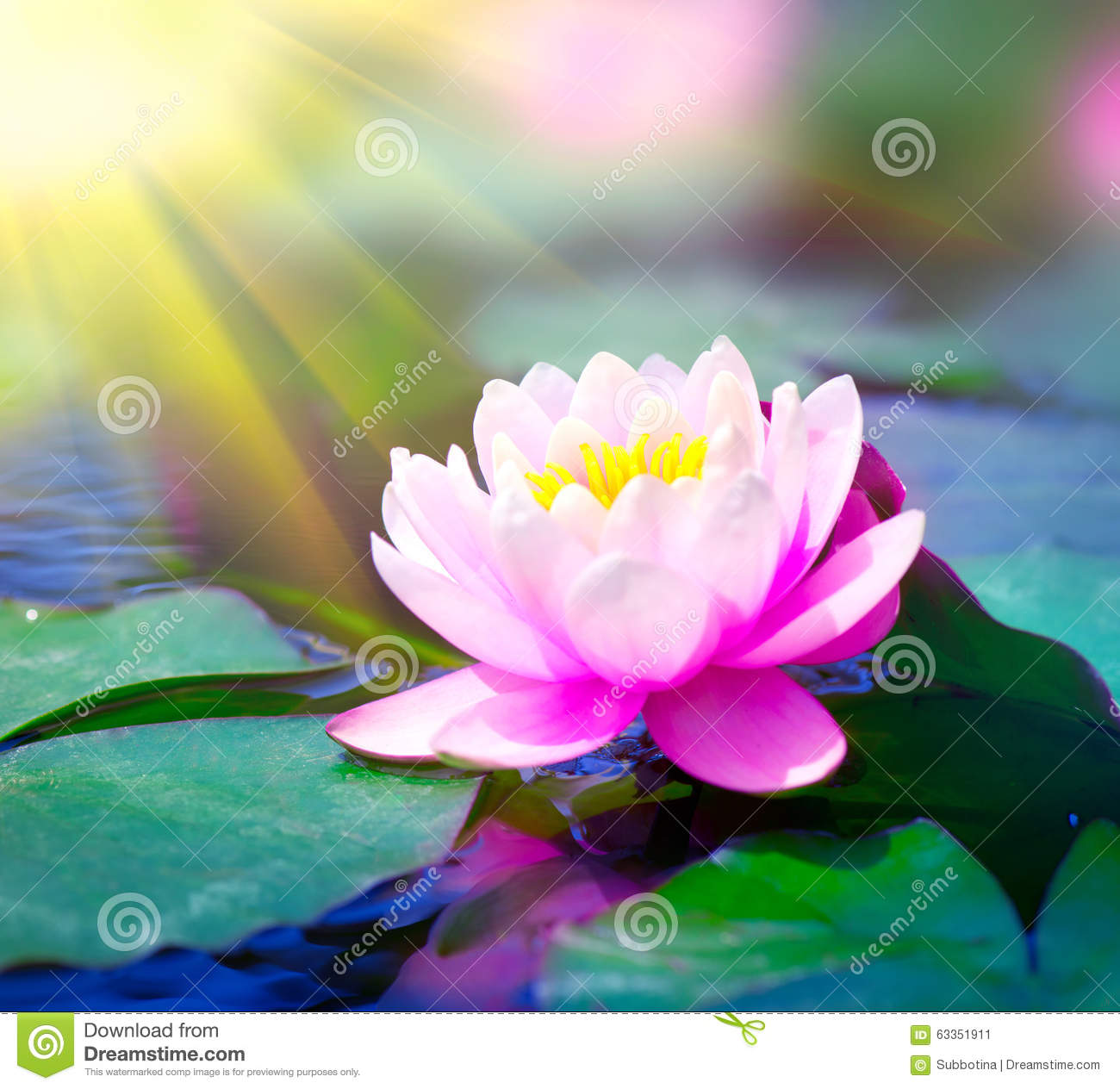 Water Lily In A Pond Lotus Flower Stock Image Image Of Plant
