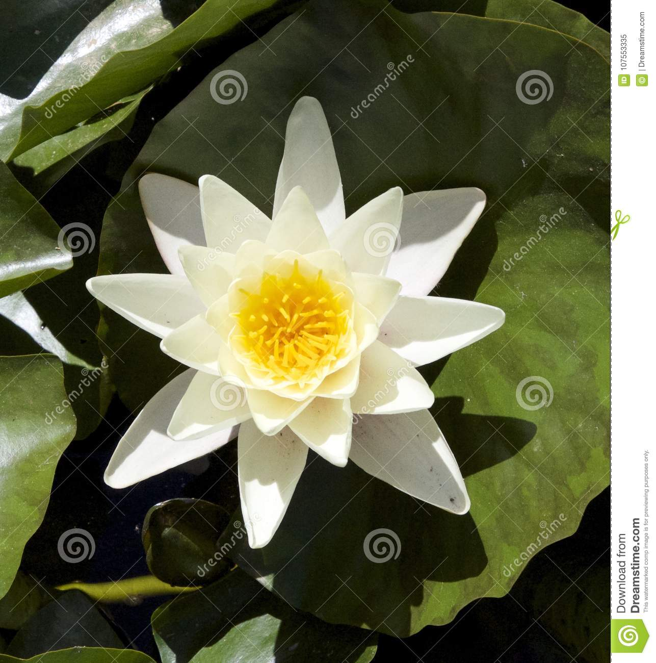 Water lily spanish garden stock image image of white 107553335 water lily spanish garden izmirmasajfo