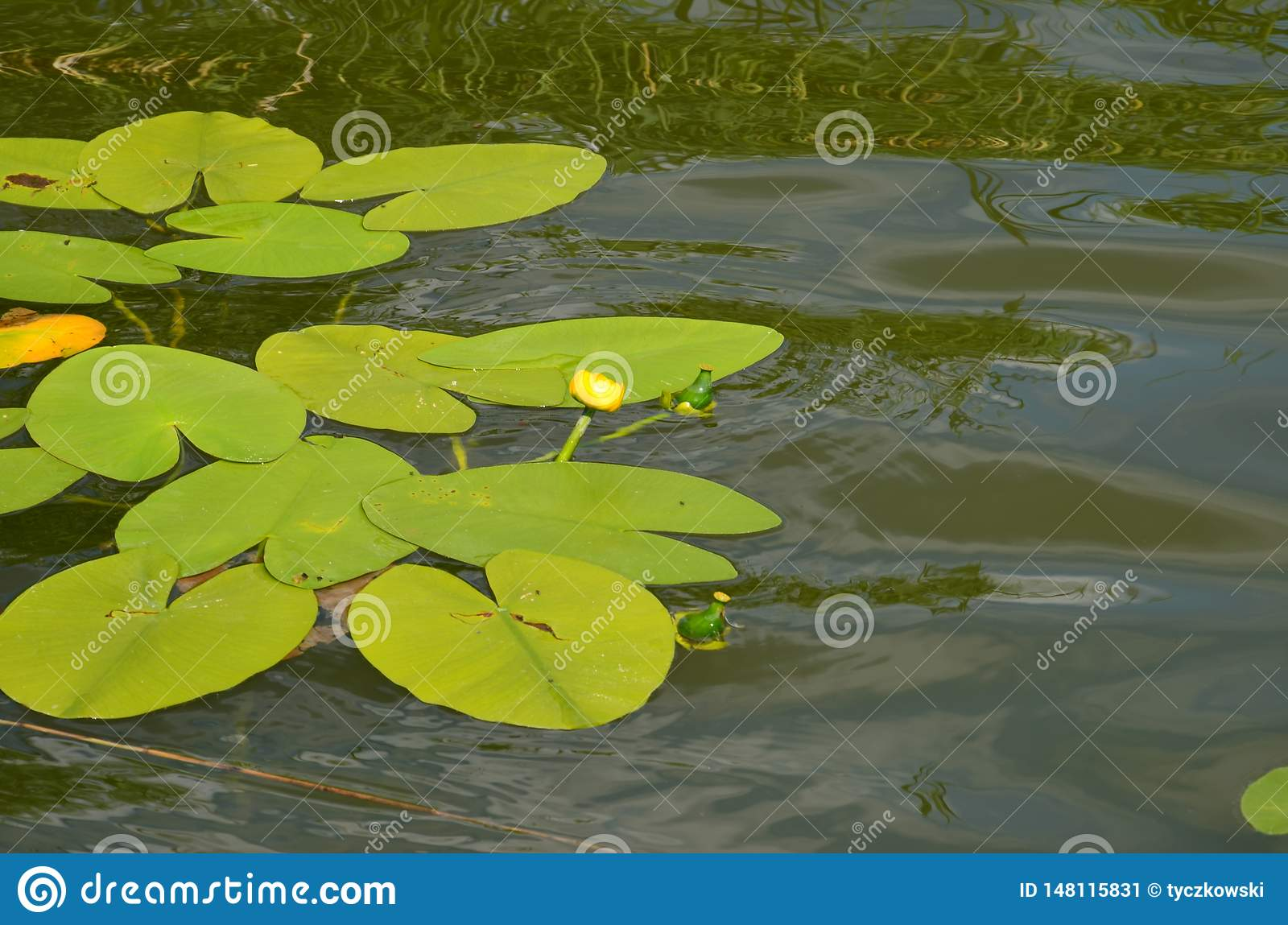 Water lily with yellow flowers on a lake in Poland - vacation and summertime