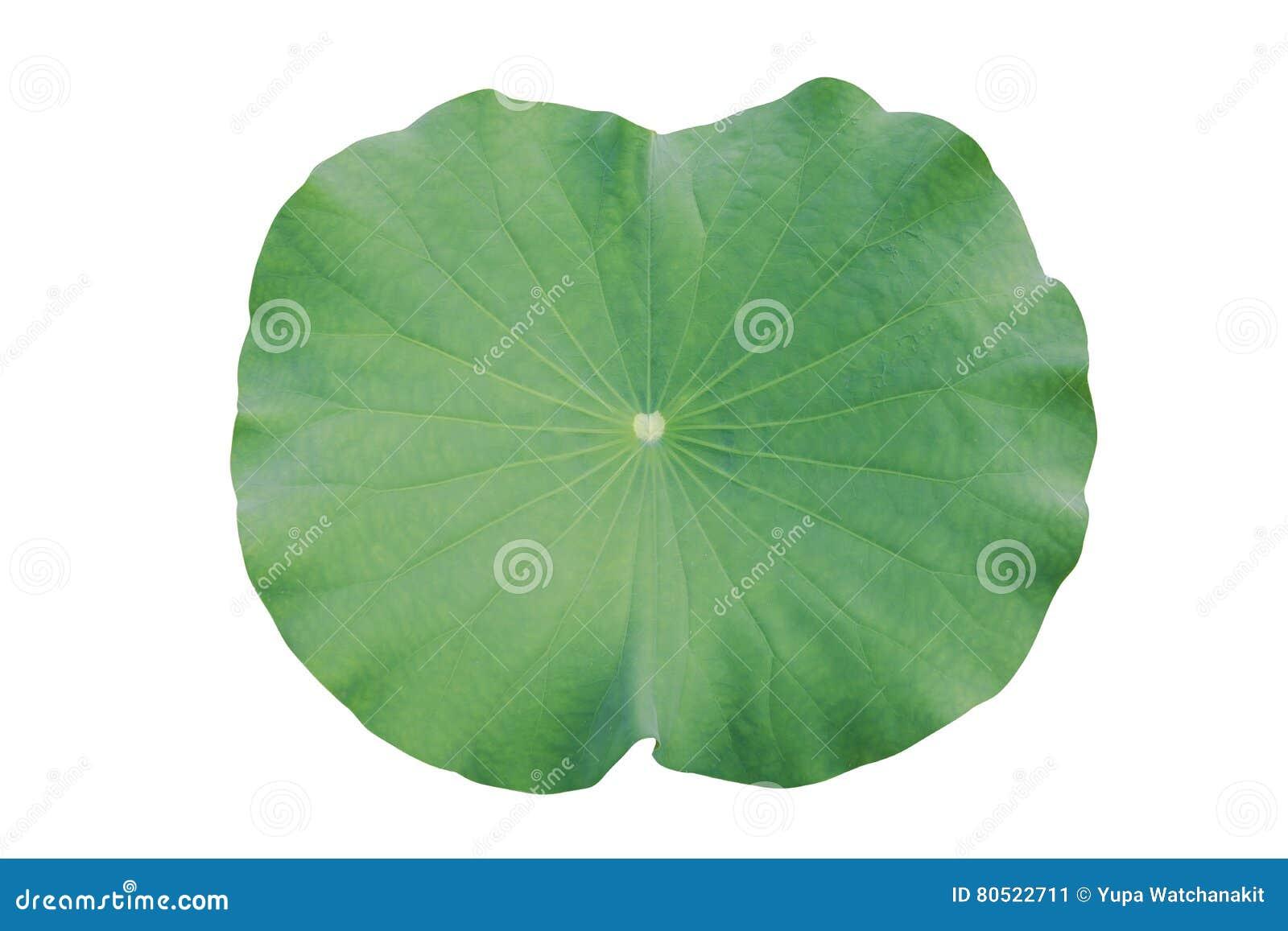Water on lotus leaf