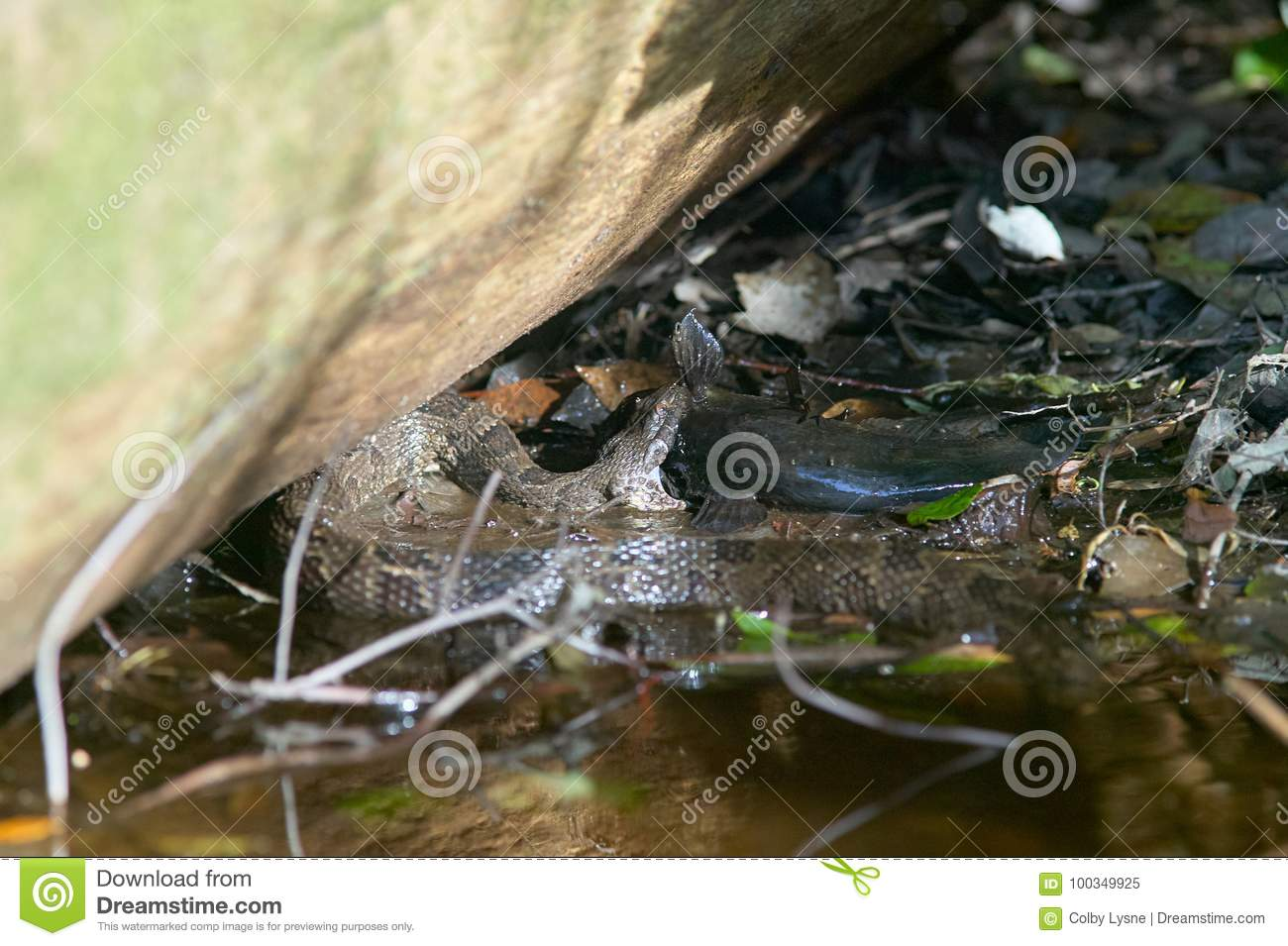 Water Moccasin Catching Fish In Swamp Stock Image Image Of