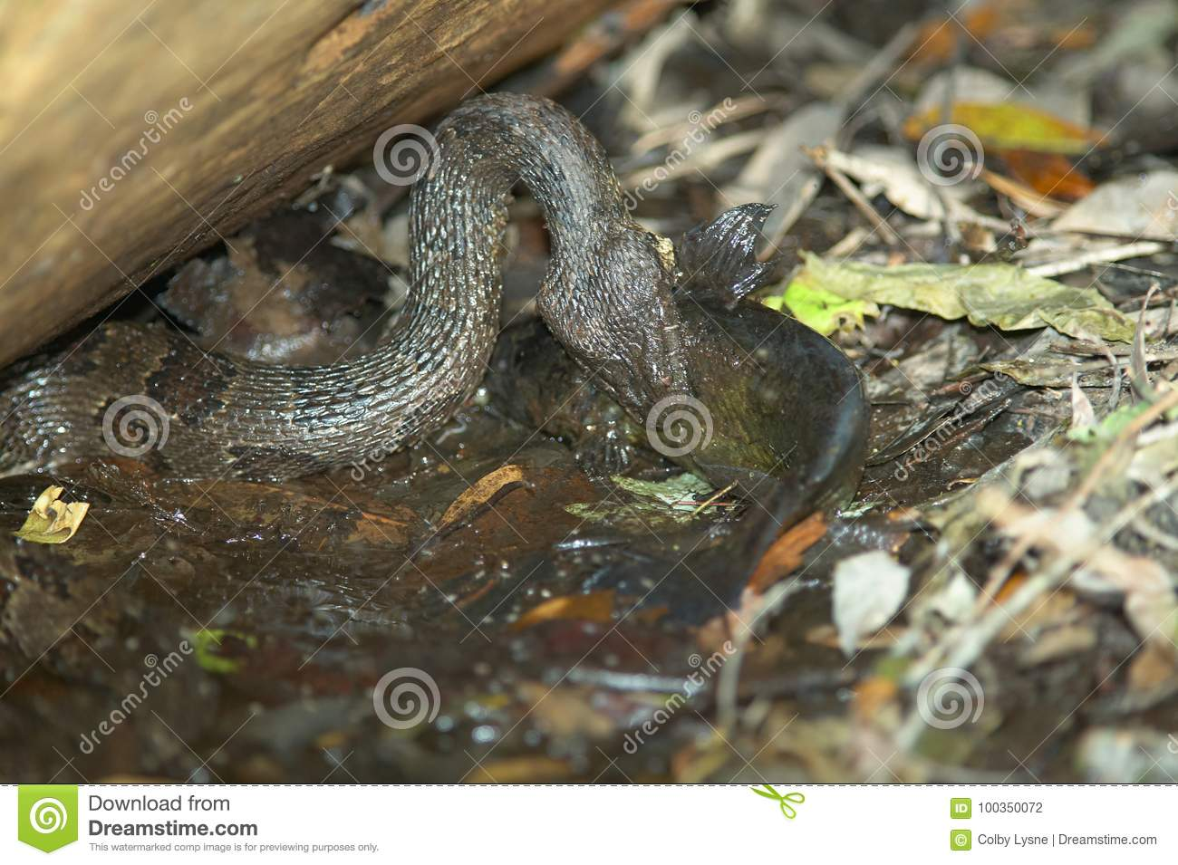 Water Moccasin Snake Catching Fish At Swamp Stock Photo Image Of