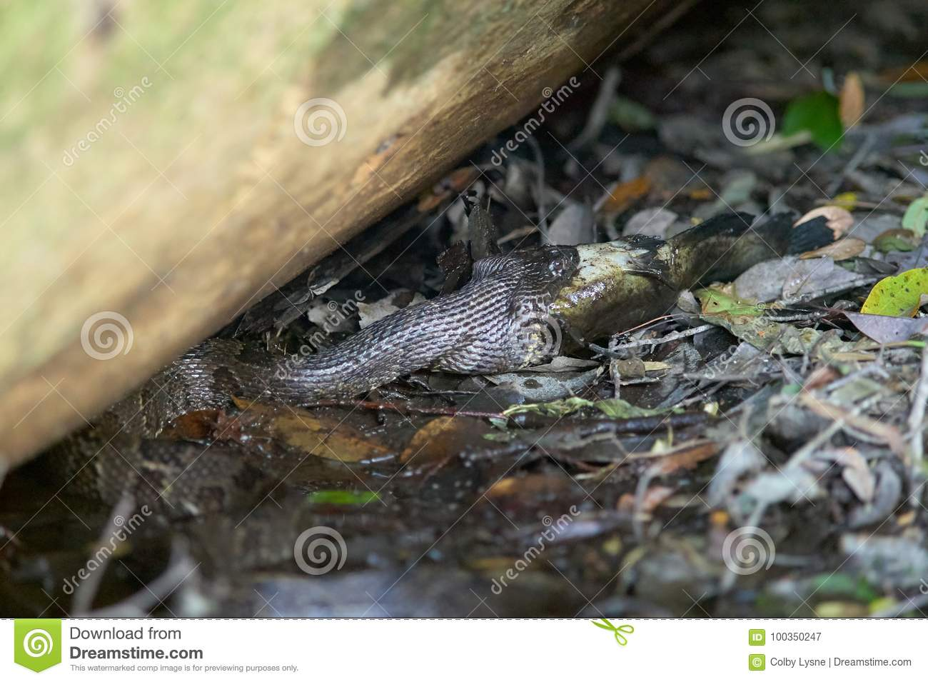 Water Moccasin Snake Catching Fish In Swamp Stock Image Image Of