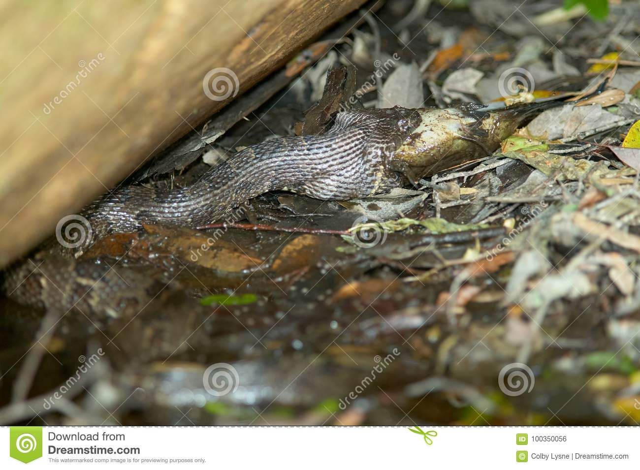 Water Moccasin Snake Swallowing Fish At Swamp Stock Photo Image Of