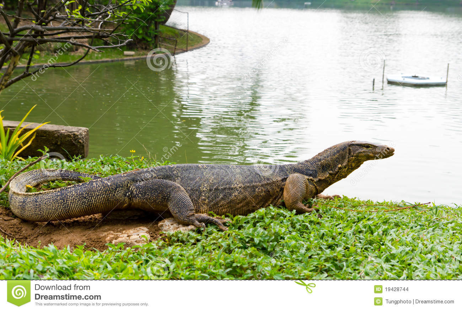 Water Monitor Lizard (varanus Salvator) Stock Images - Image: 19428744