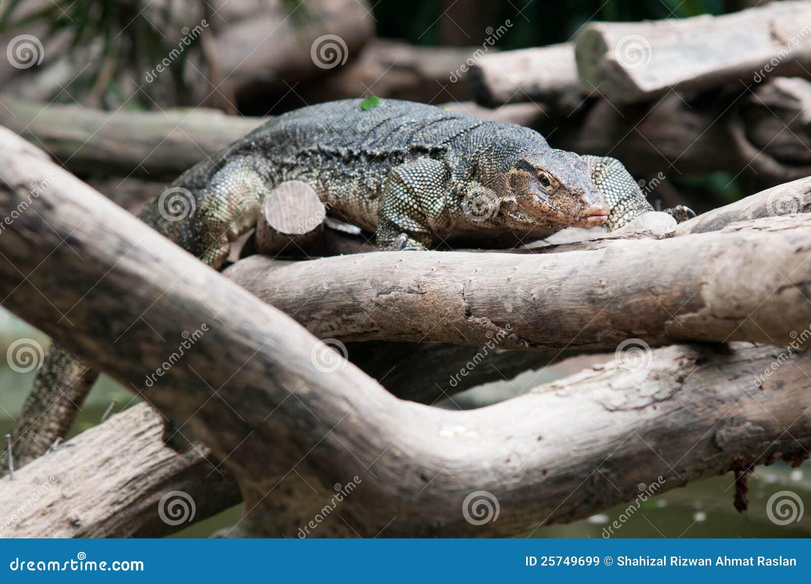 Water monitor lizard (varanus salvator)