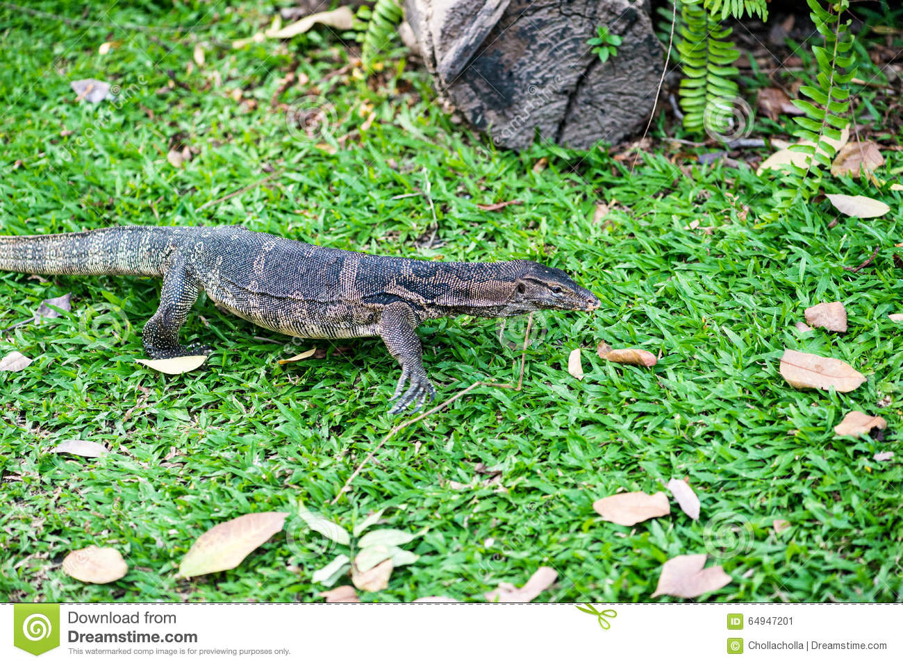 Water Monitor Lizard (varanus Salvator) Stock Photo ...