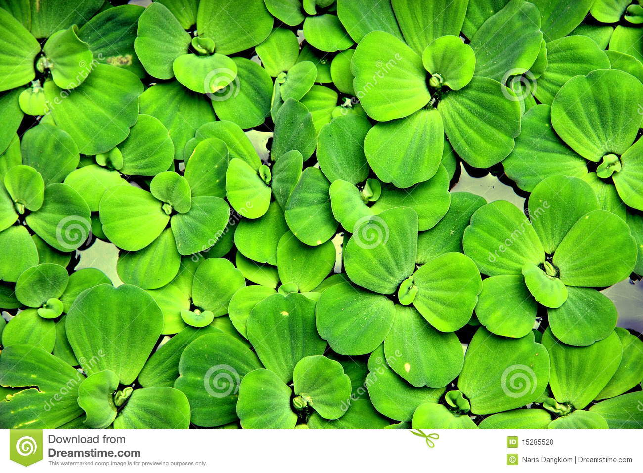 Water plant stock photo image of aquatic plant green for Waterside plants