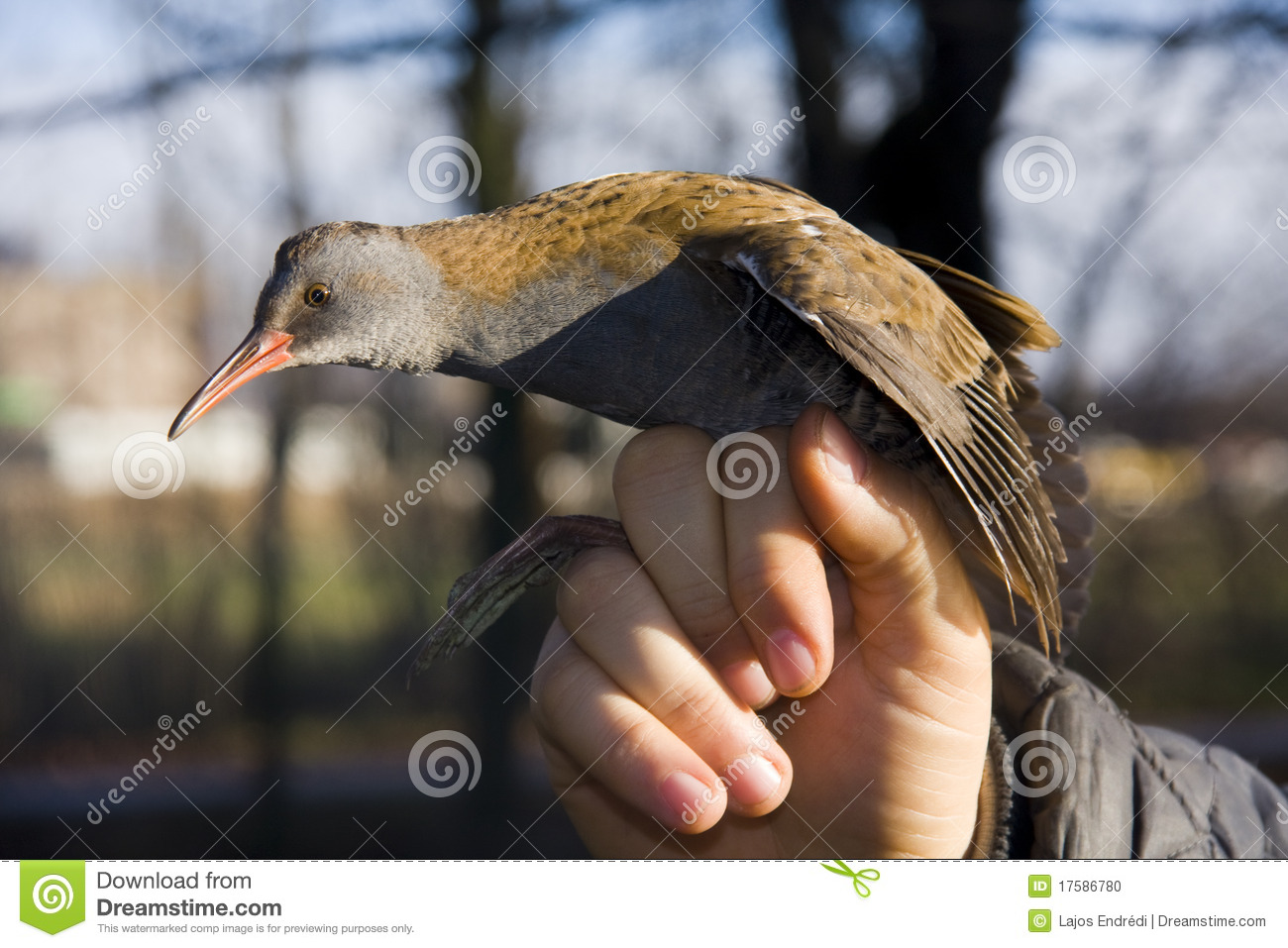 Water rail (Rallus aquaticus) in hand