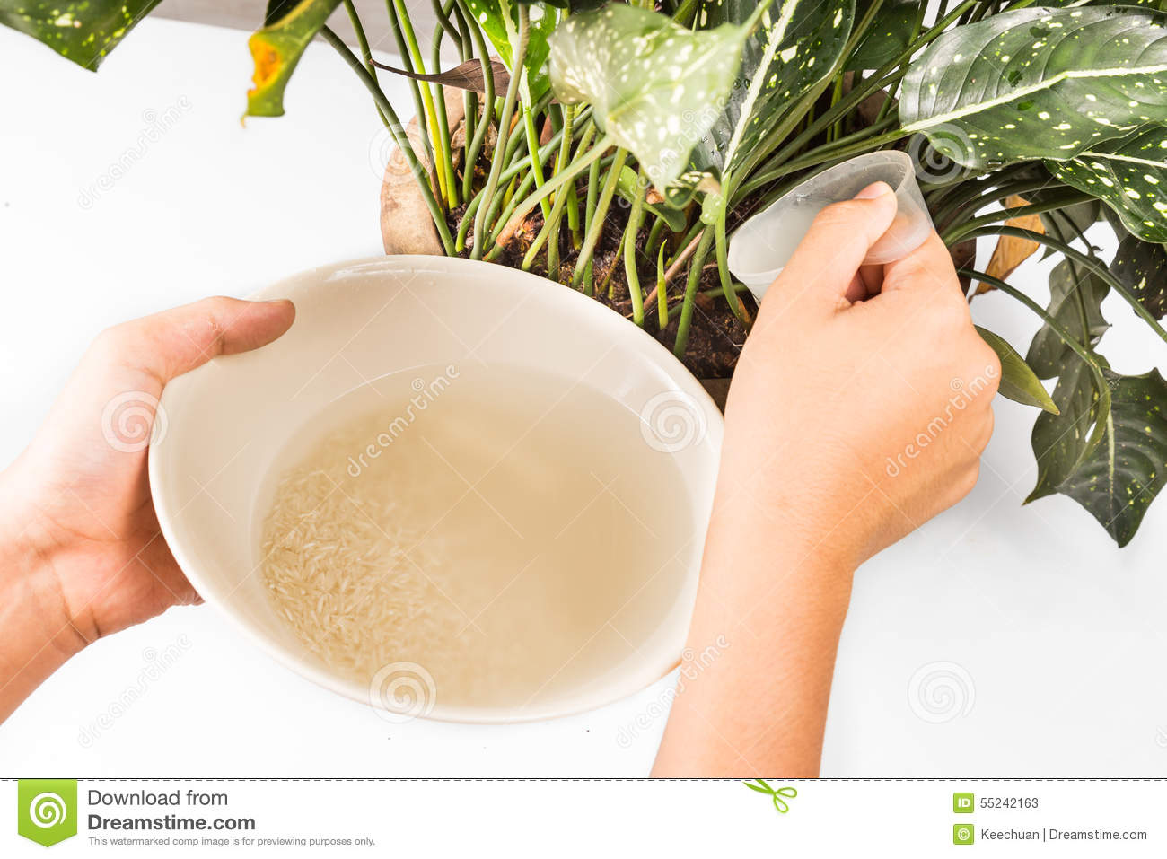 Water from rice rinse being used as natural fertilizer on potted plant