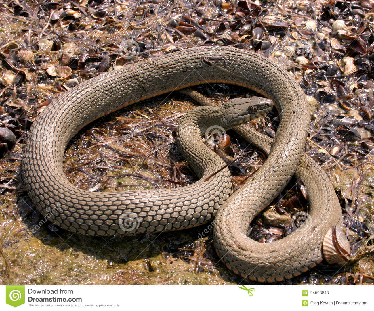 Water snake on the hunt on the shore