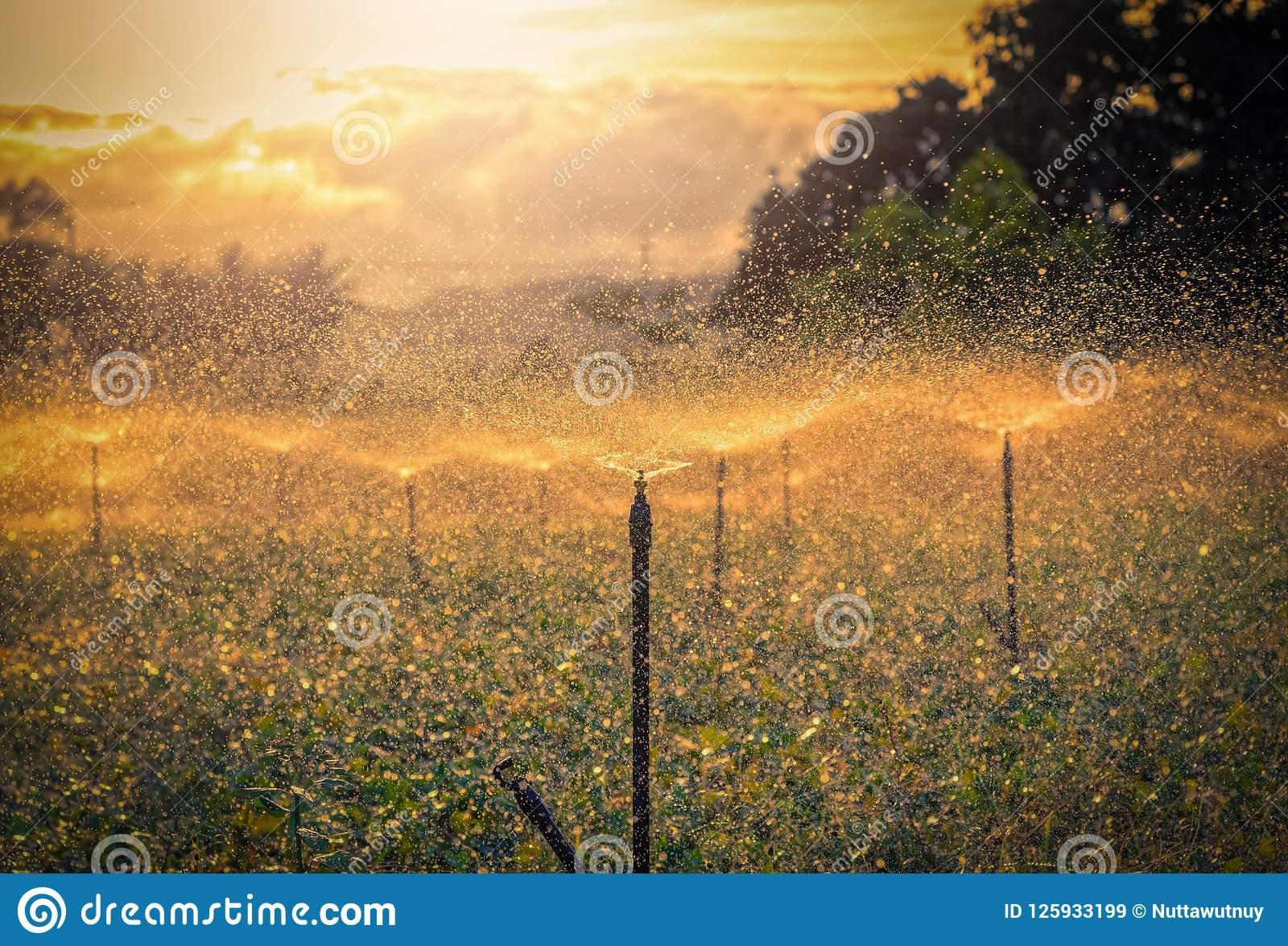Water Sprinkler System Working In A Green Vegetable Garden At Su ...